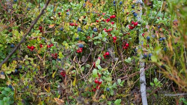 Лесных ягод: черники, брусники, клюквы