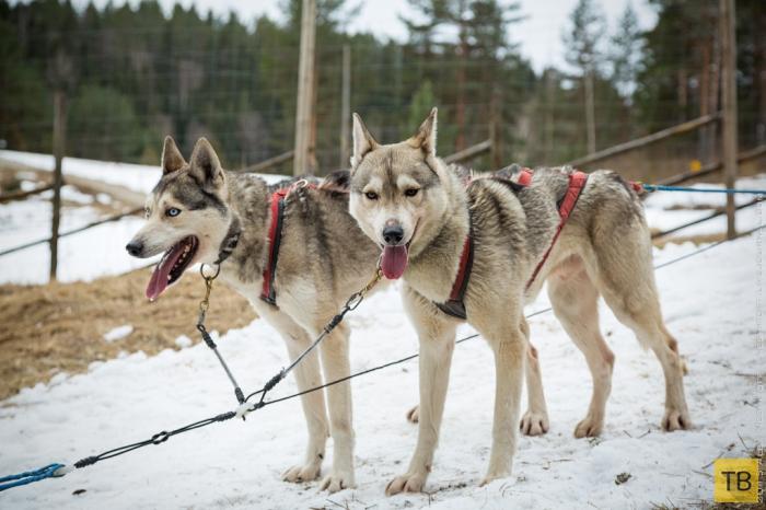 Собаки финляндии
