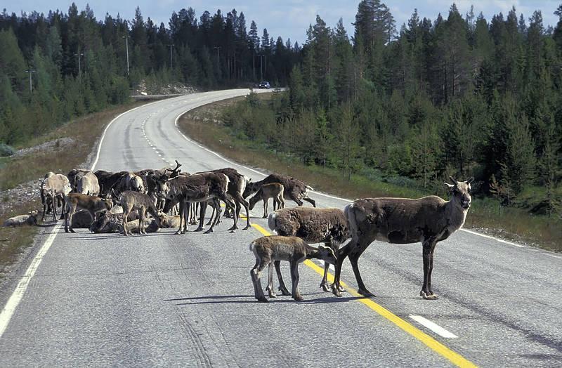 На дорогах Финляндии частое явление – животные