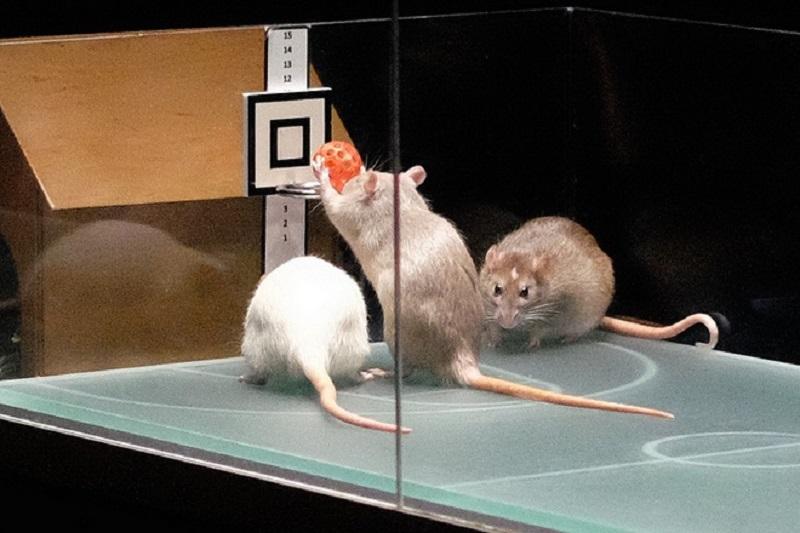 Крысиный баскетбол в музее Эврика